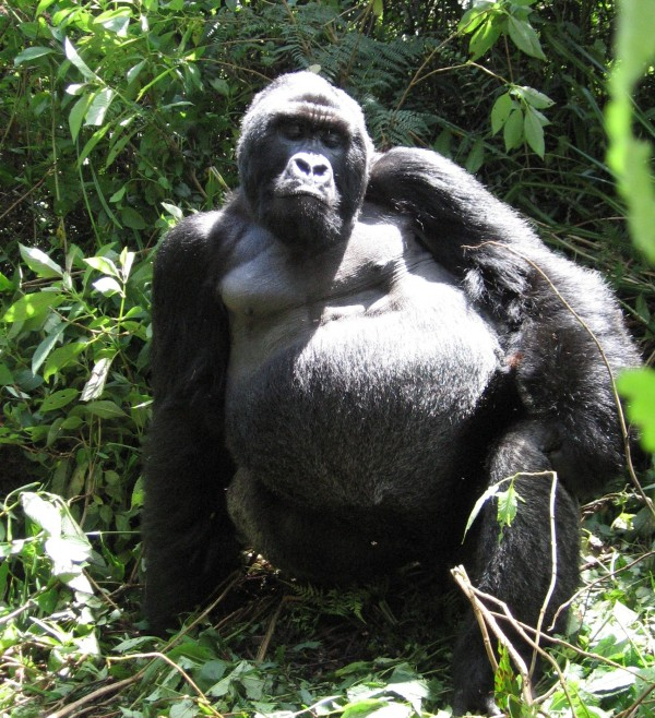 5 Gap Year Travel Ideas - #4 Gorilla Trekking in Uganda