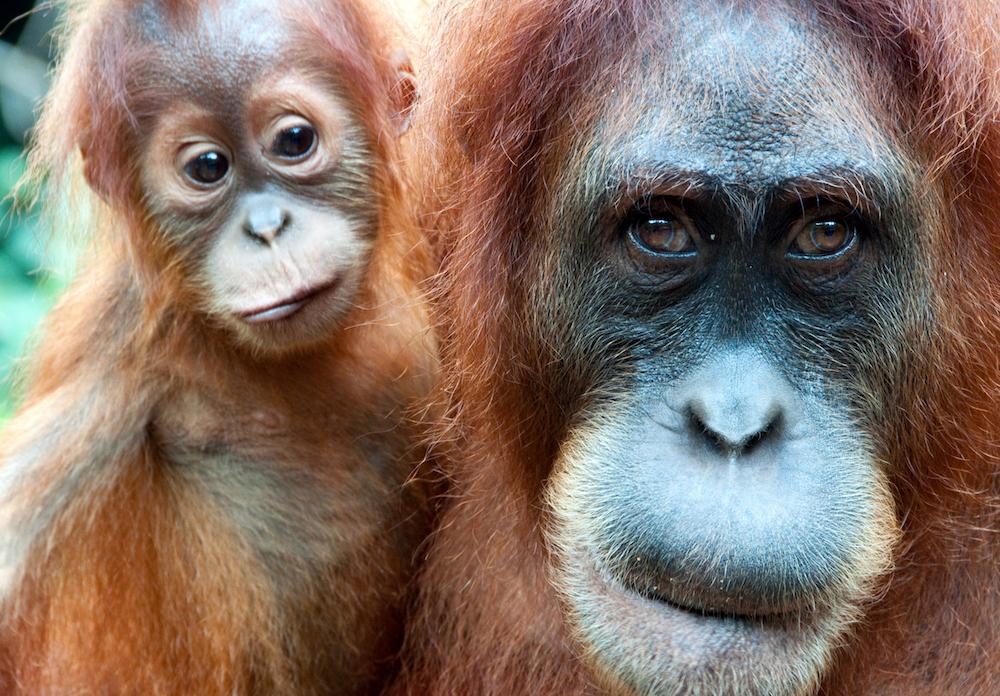 Adventure with Orangutans